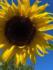 Sunflower in our courtyard garden